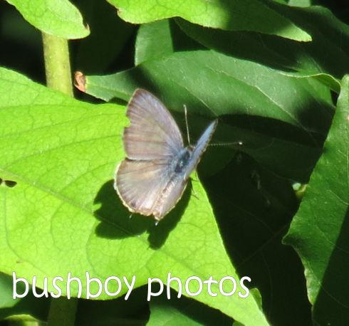 line blue butterfly_named_crop_binna burra_feb 2015