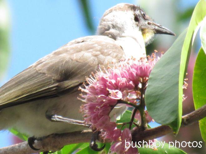 little friarbird_named_home_feb 2015