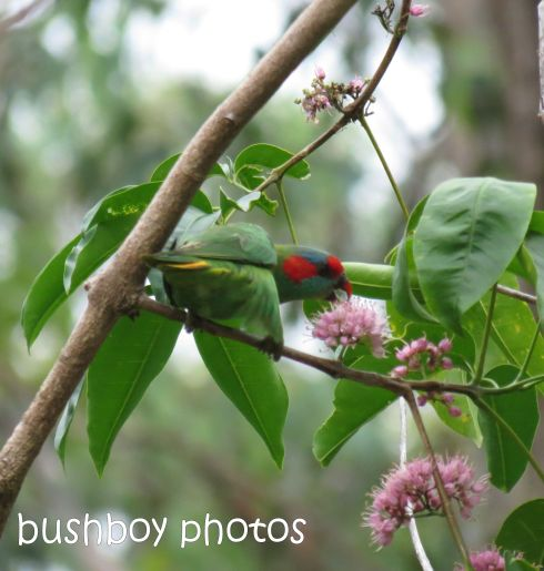 musk lorikeet01_named_home_feb 2015