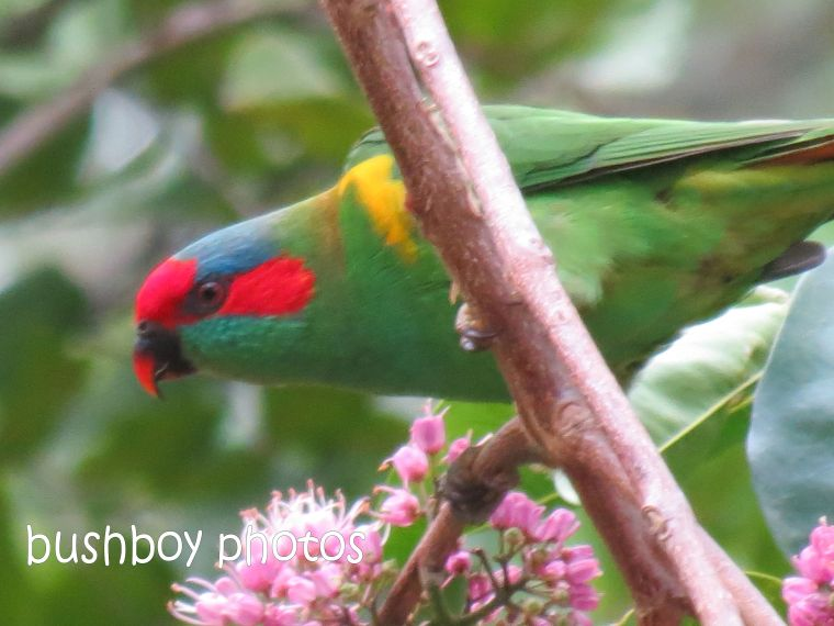 musk lorikeet02_named_home_feb 2015