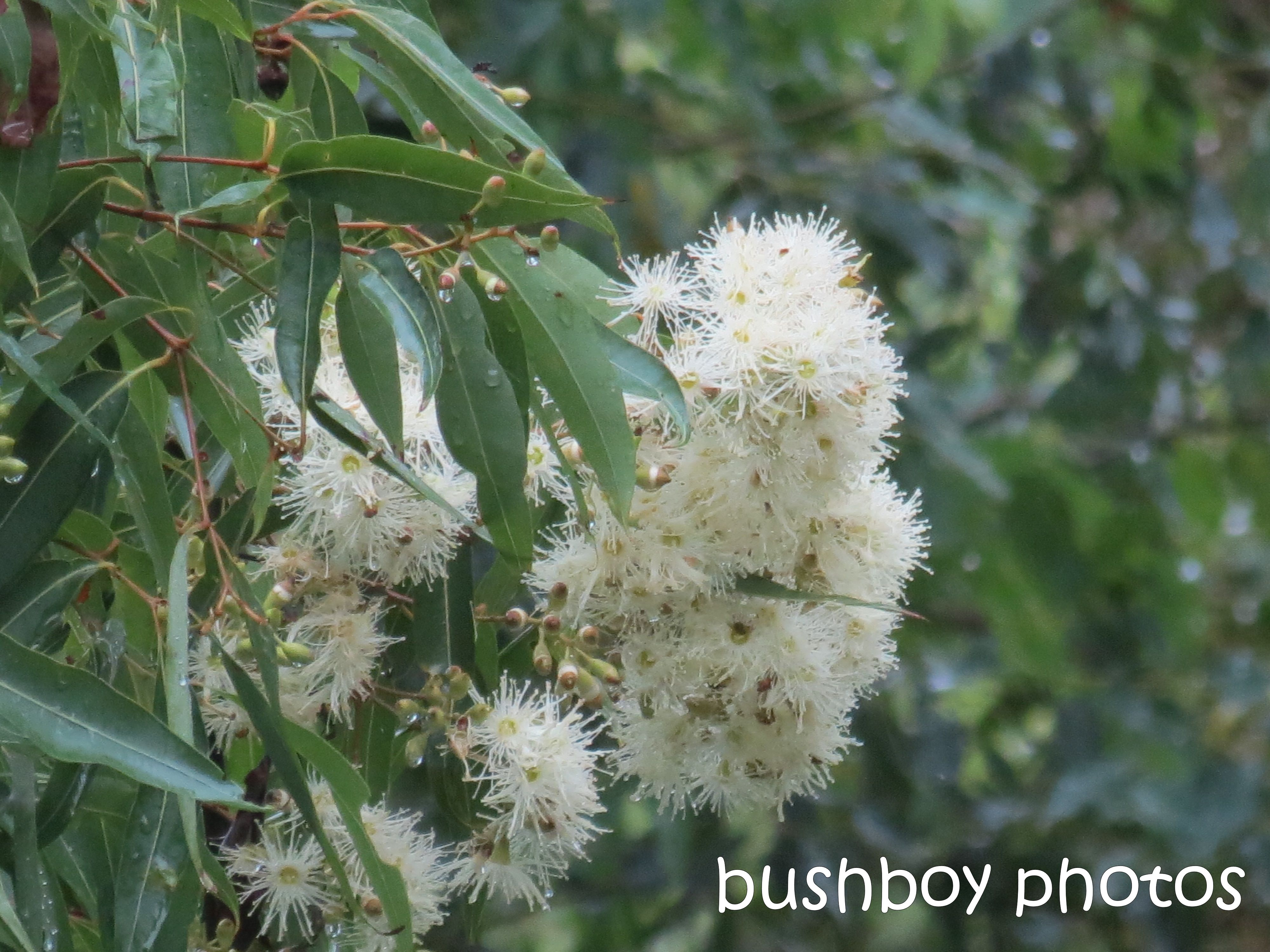 pink bloodwood flowers_named_home_feb 2015