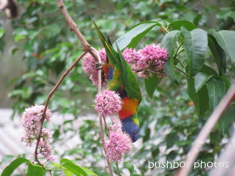 rainbow lorikeet01_named_home_feb 2015
