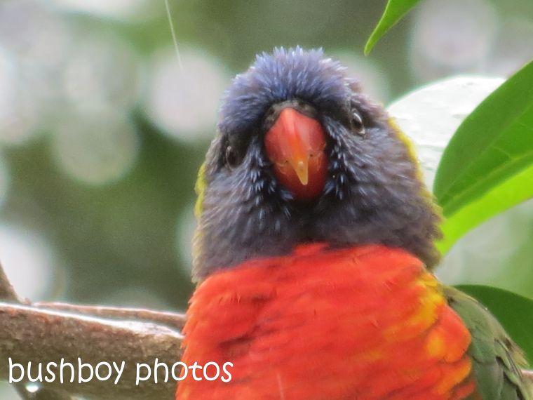 rainbow lorikeet02_close_named_home_feb 2015