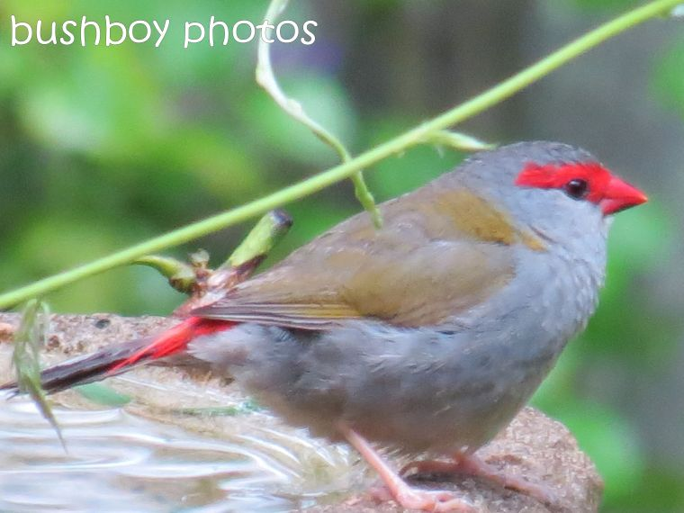 red browed finch_named_binna burra_feb 2015