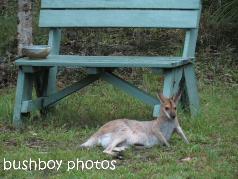 red-necked wallaby_named_home_feb 2015