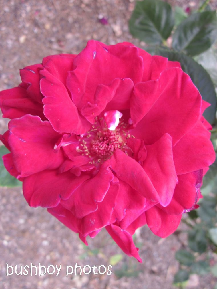 rose_red01_close_named_orange_feb 2015
