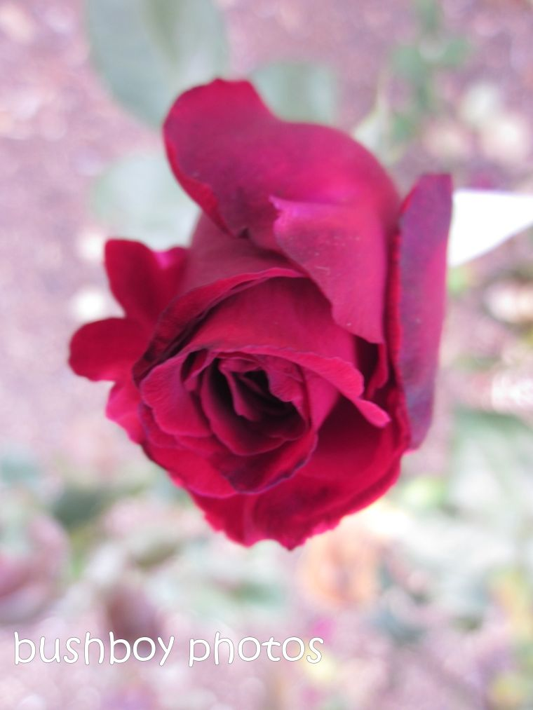 rose_red_bud_named_orange_feb 2015