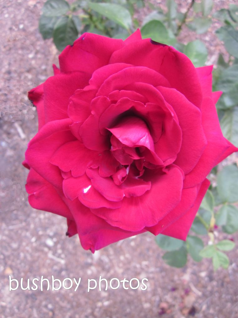 rose_red_close_named_orange_feb 2015