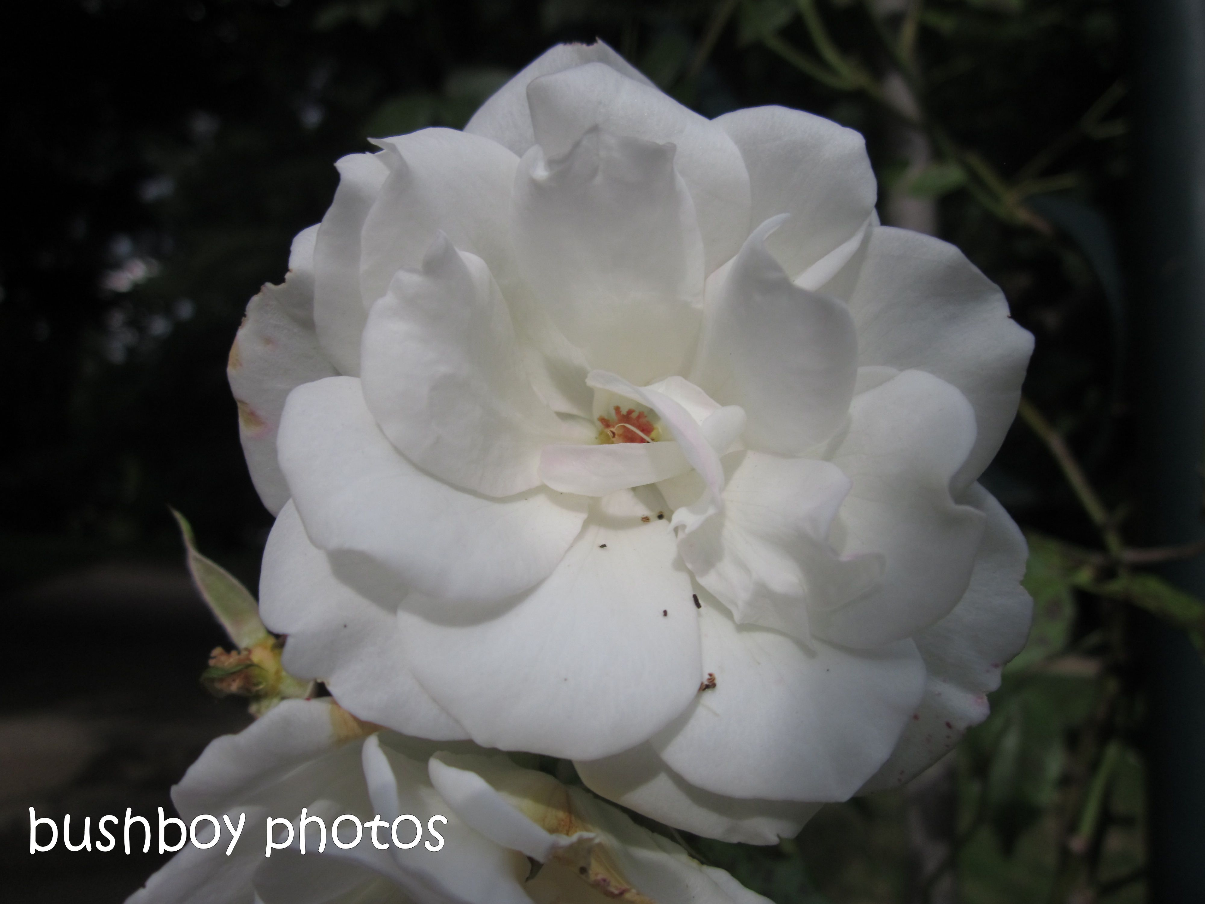 rose_white_named_orange_feb 2015
