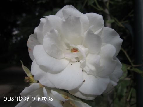 rose_white_named_orange_feb 2015