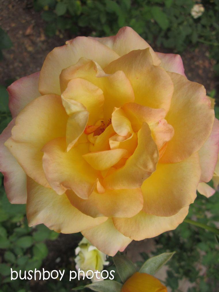 rose_yellow_named_orange_feb 2015