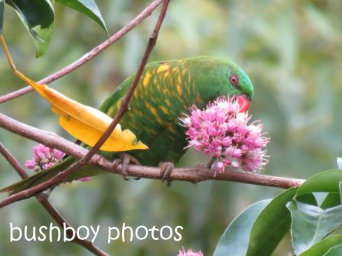 scaly-breasted lorikeet_named_home_feb 2015