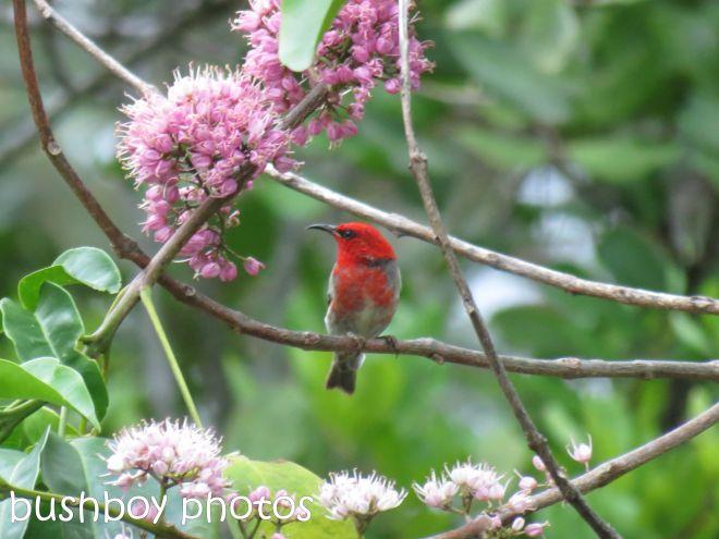 scarlet honeyeater_named_home_feb 2015