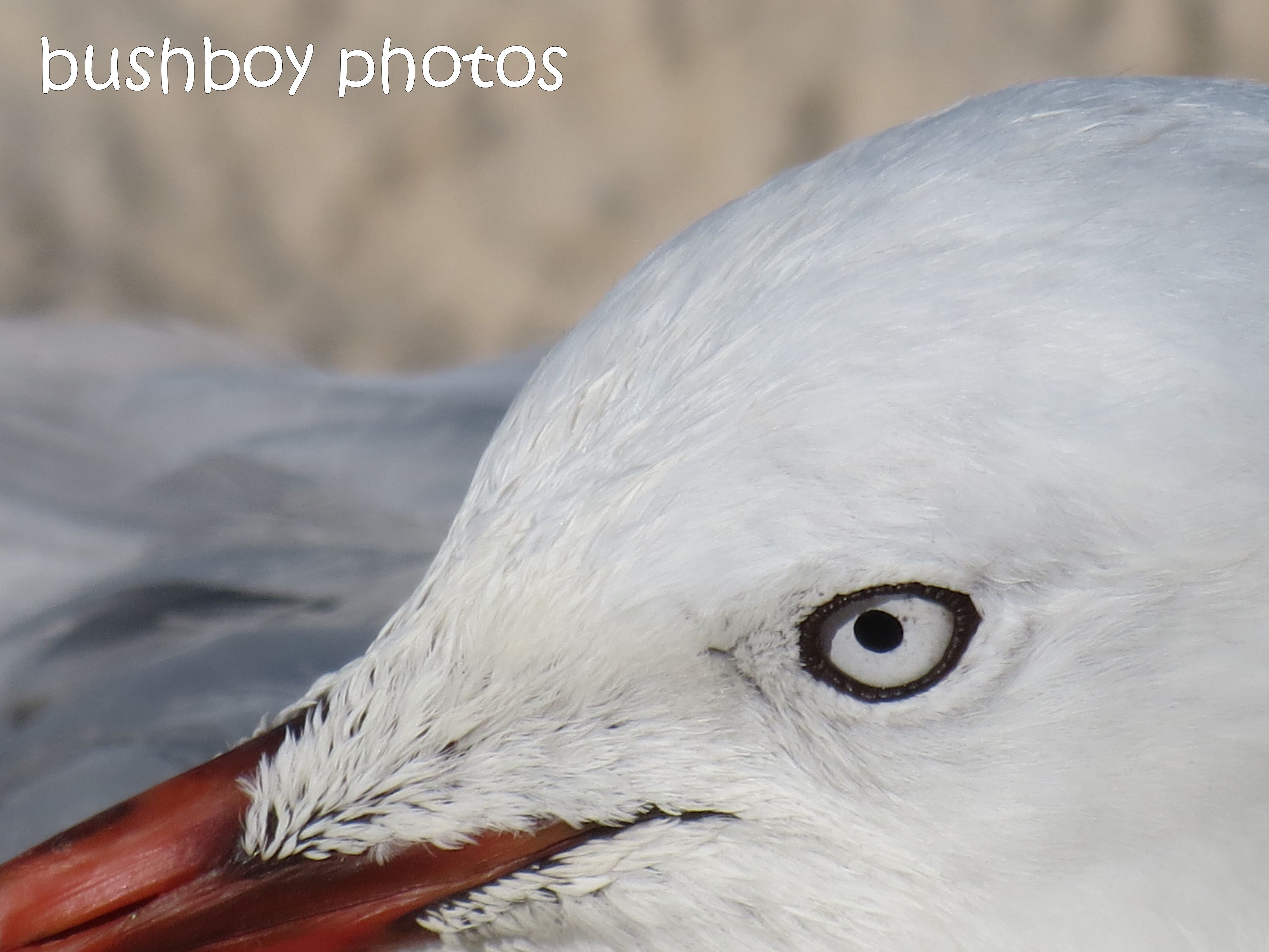 seagull01_close_ballina_named_feb 2014