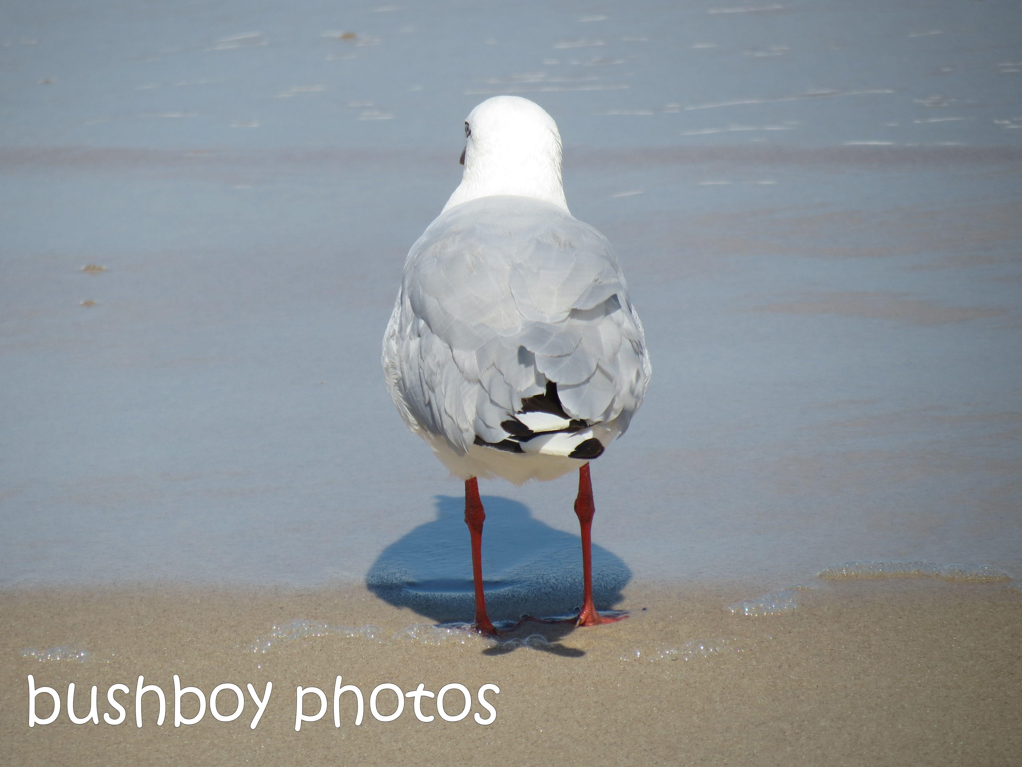 seagull02_ballina_named_feb 2014