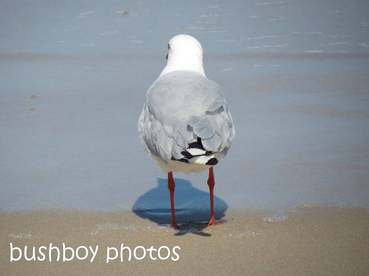 seagull02_ballina_named_feb 2014