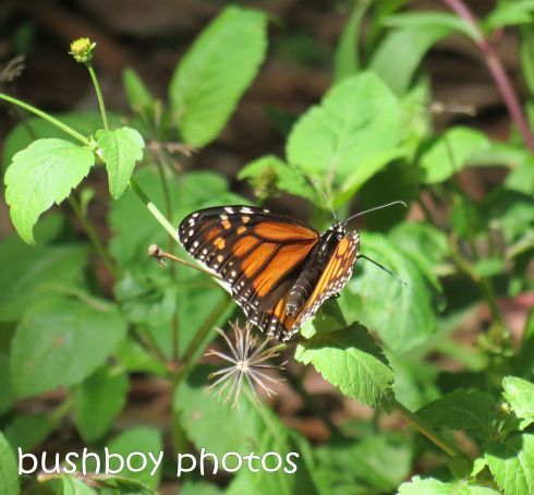 wanderer butterfly_named_binna burra_feb 2015