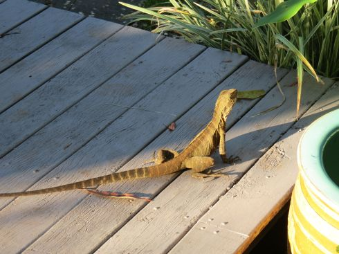 water dragon_binna burra_named_feb 2015