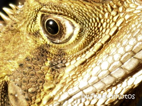 water dragon_eye_binna burra_named_feb 2015