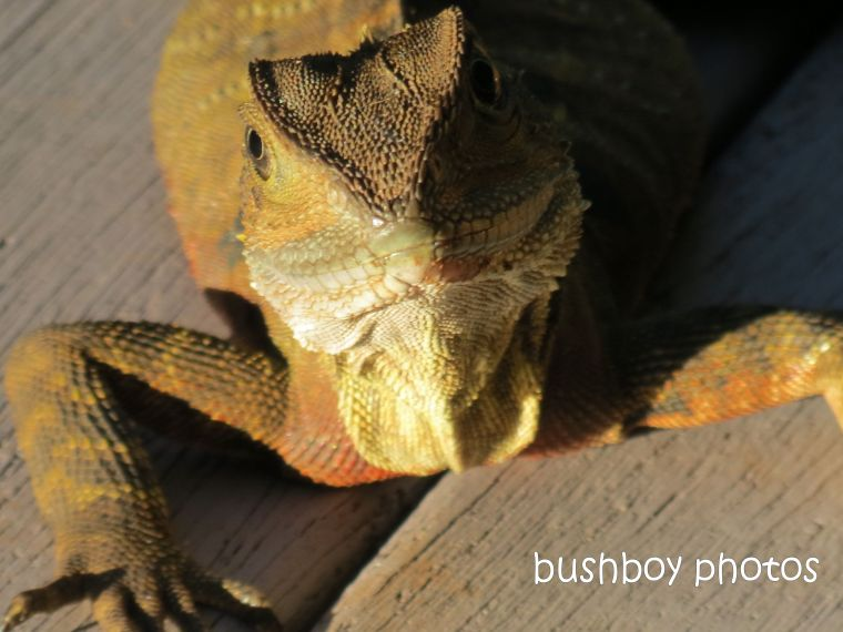 water dragon_face close_binna burra_named_feb 2015