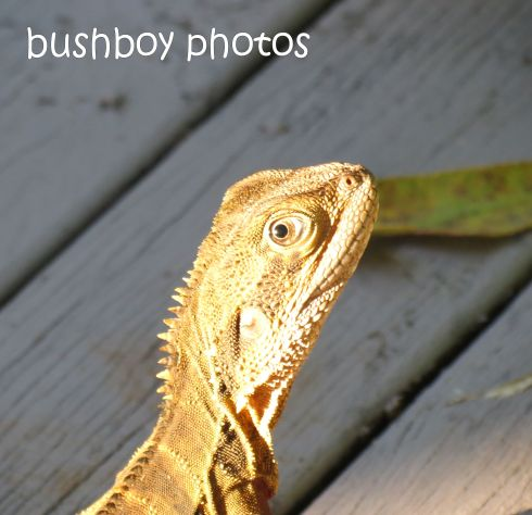 water dragon_face side_binna burra_named_feb 2015