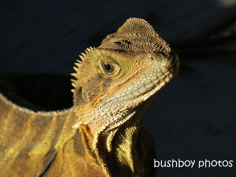 water dragon_face_binna burra_named_feb 2015