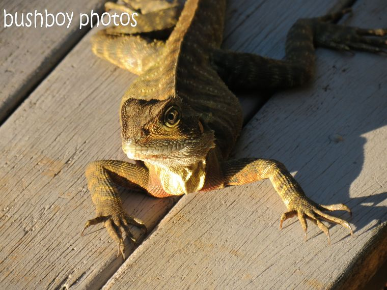 water dragon_front_binna burra_named_feb 2015