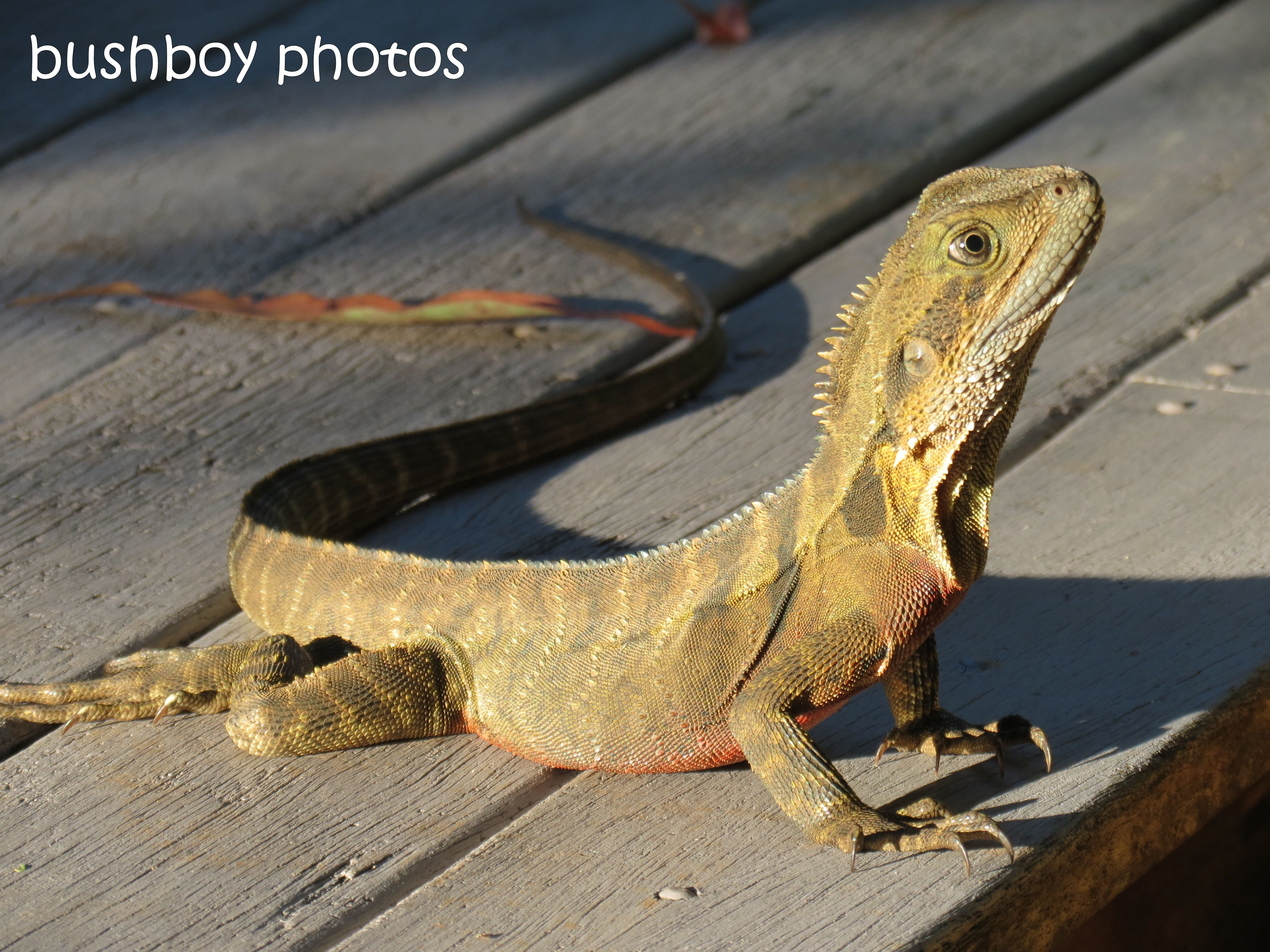 water dragon_side_binna burra_named_feb 2015