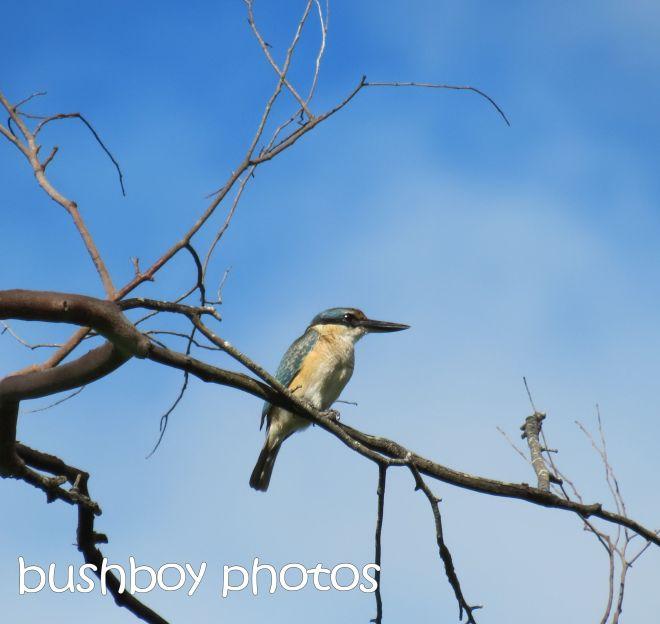 azure kingfisher_named_lismore lake_april 2015