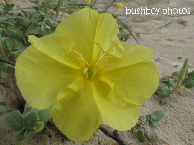 beach plant_named_cabarita beach_march 2015