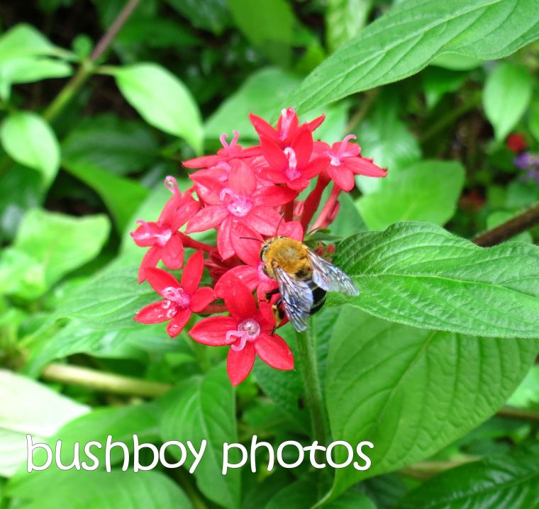 bee_red pentas_named_binna burra_april 2015