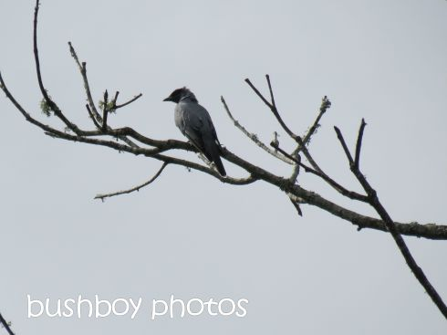 black faced cuckoo shrike_named_lismore lake_april 2015