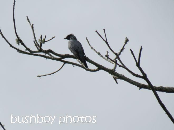 black faced cuckoo shrike_named_lismore lake_april 2015