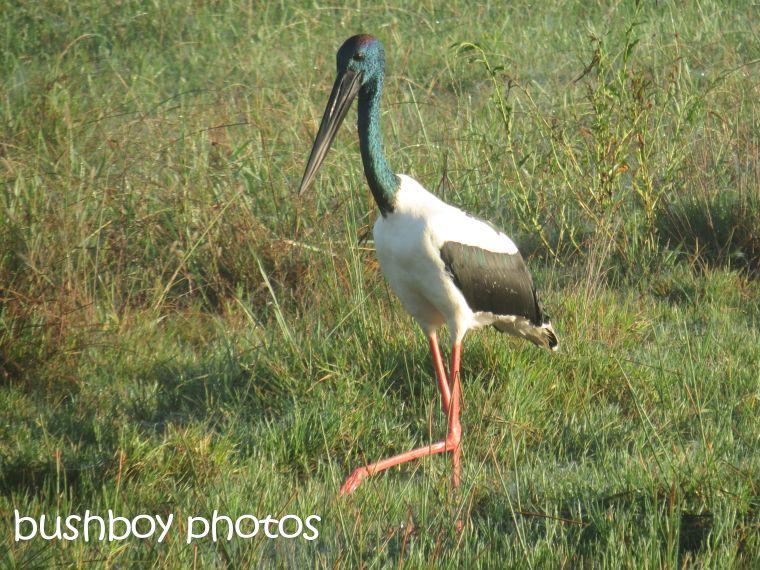 black-necked stork02_named_grafton_april 2015
