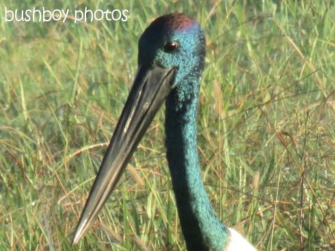 black-necked stork03_named_grafton_april 2015