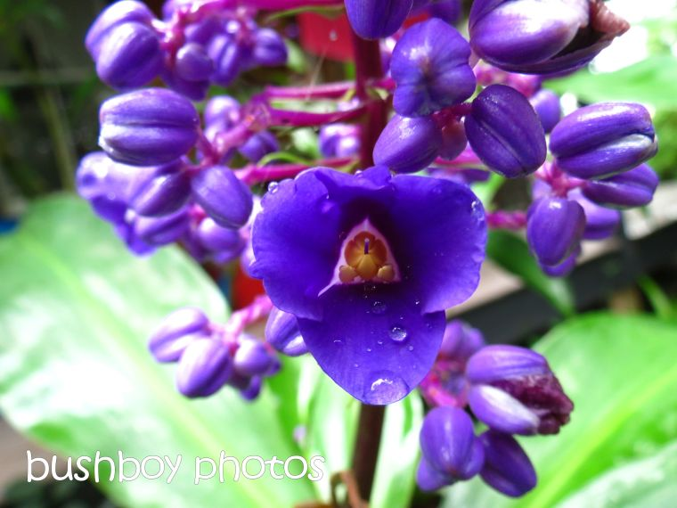 blue ginger flower_named_binna burra_april 2015
