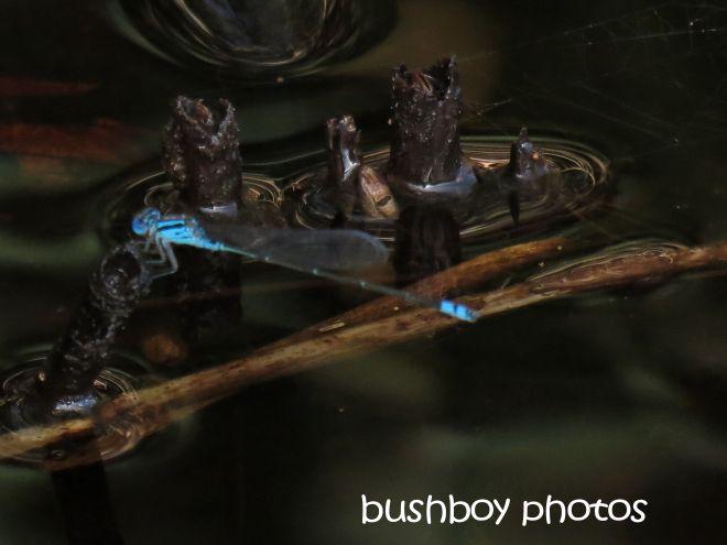 dragonfly_blue_named_broken head_april 2015