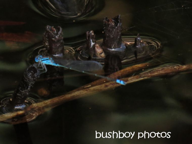 dragonfly_blue_named_broken head_april 2015