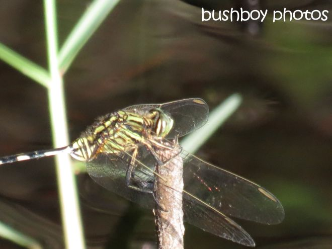 dragonfly_yellow_named_broken head_april 2015
