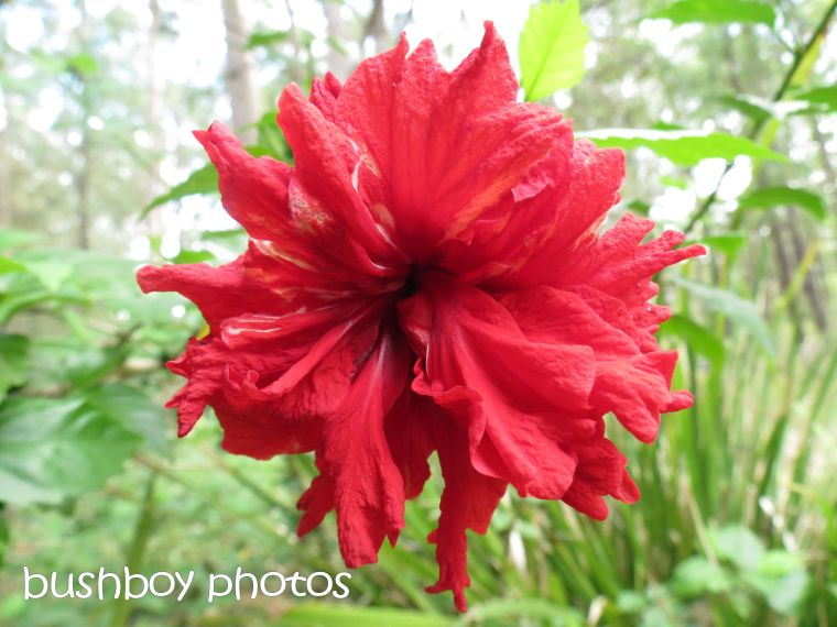 hibiscus red_named_home_march 2015