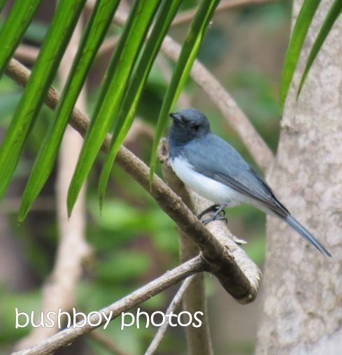 leaden flycatcher_named_home_mar 2015