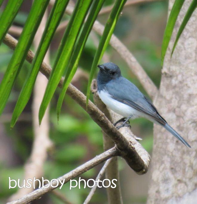 leaden flycatcher_named_home_mar 2015