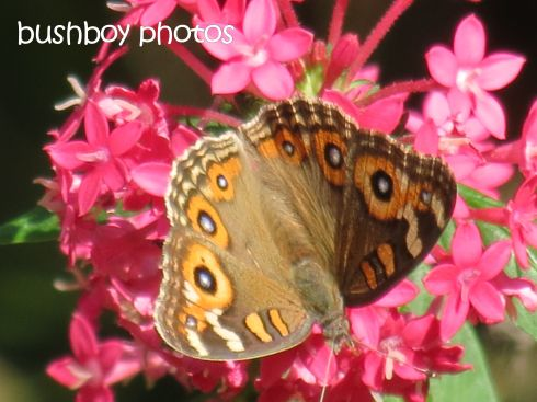 meadow argus_named_home_march 2015