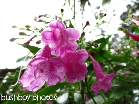 pink bell flowers_named_binna burra_april 2015