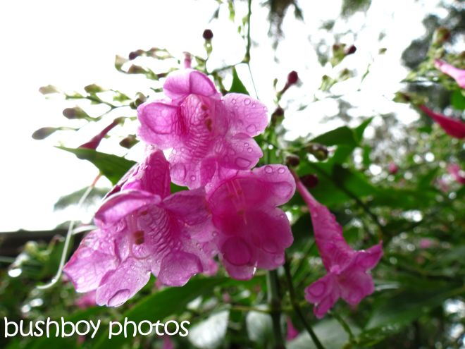 pink bell flowers_named_binna burra_april 2015