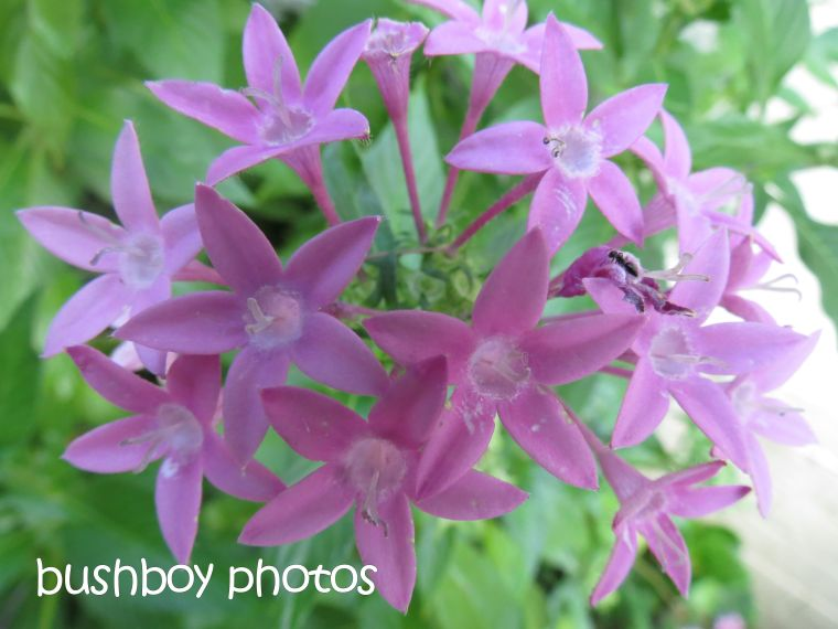 pink pentas_ant_named_grafton_march 2015