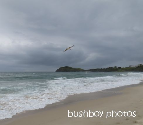 seagul flying_named_cabarita beach_march 2015