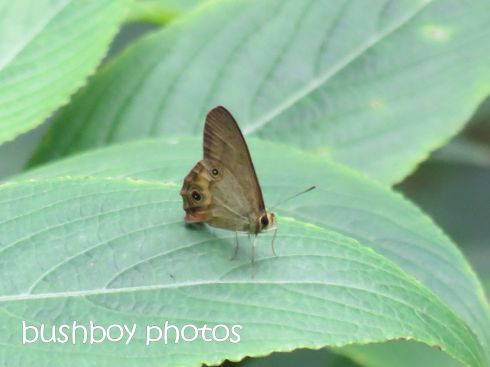 skipper_butterfly_named_binna burra_april 2015