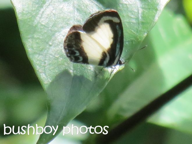 small green-banded blue butterfly_named_binna burra_april 2015
