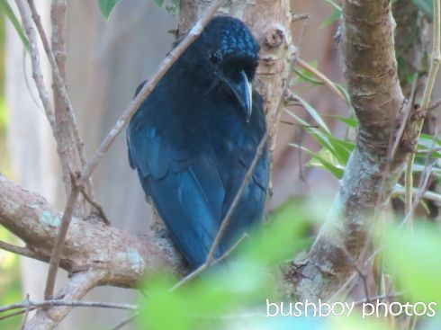 spangled drongo_named_binna burra_march 2015